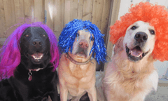 Canine Capers as Dogs Get Wiggy With it for Children With Cancer